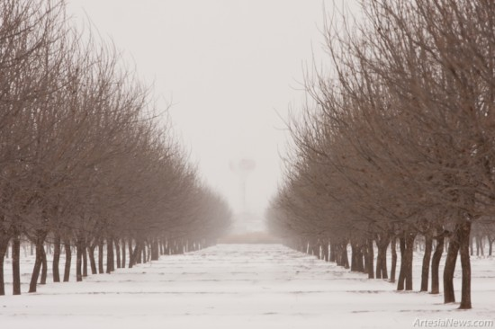 A pecan orchard is covered in a blanket of snow.