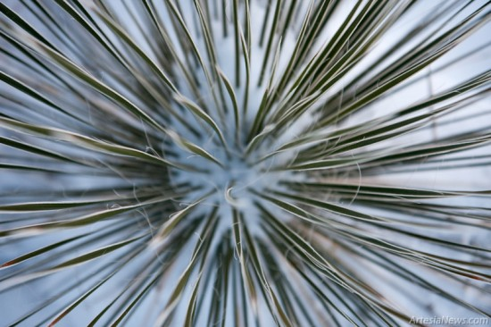 A yucca is covered in snow showing that it does indeed snow in the desert.