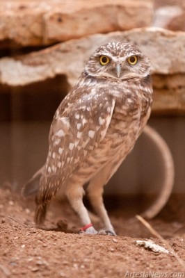 Burrowing owls, unlike most other owls, are active during the day and nest in burrows instead of trees. These owls can dig their own burrows but more commonly use abandoned burrows.