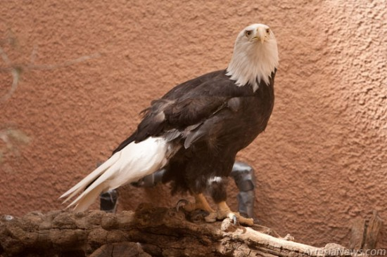 Bald eagles do not mate until they reach around five years of age. When courting, they lock talons and free fall, separating just before hitting the ground. The bald eagle nest is the largest of any bird in North America; it is used repeatedly over many years, with new material added each year.