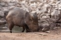 Javelina are very social and live in family groups. They have a keen sense of smell and identify each other by large scent glands on their lower backs. These glands emit a strong odor especially when they are excited. Javelina rub each other head to rump in greeting.