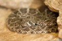 An adolescent western diamondback rattlesnake. Although adult specimens have no natural predators, hawks, eagles, and other snakes have been known to prey on young or adolescent individuals.