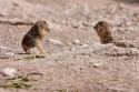 The black-tailed prairie dog is a social rodent that is a vital part of a balanced shortgrass prairie ecosystem. They live in towns of thousands, digging elaborate burrows with nesting, sleeping, food storage and latrine chambers along with entrances surrounded by a cone of soil to prevent flooding.