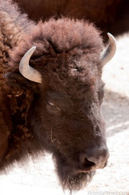 Bison are the largest land animals in the Americas. They once ranged from Canada to Mexico in huge herds. An estimated 60 million bison roamed the continent before Europeans arrived. Almost all were exterminated and less that one thousand remained by 1900.