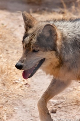 Wolves are shy animals that have come close to extinction. Mexican wolves are the smallest, rarest and most genetically distinct subspecies of grey wolves. From only seven founding wolves, these endangered animals are being reintroduced into the wild.