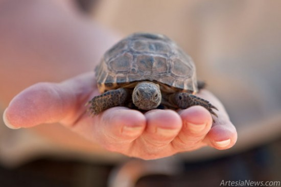 Holly Payne, general curator at Living Desert State Park, said there were only 30 adult Bolson tortoises remaining in the U.S. in 2006. Today, there are 176. Right, Payne holds a 2010 Bolson hatchling. (Tyler Green – Daily Press)