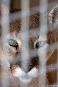 Mountain lions once roamed throughout the Americas. Territorial and solitary, they only pair for two weeks to mate. Females breed every other year, spending more than one year teaching their spotted kittens to hunt.