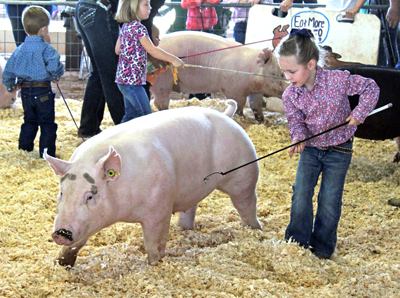 A young girl in the under-5 division expertly guides her pig around the show ring this morning during the Booster Swine Show at the Eddy County Fair. (Elizabeth Lewis - Daily Press)
